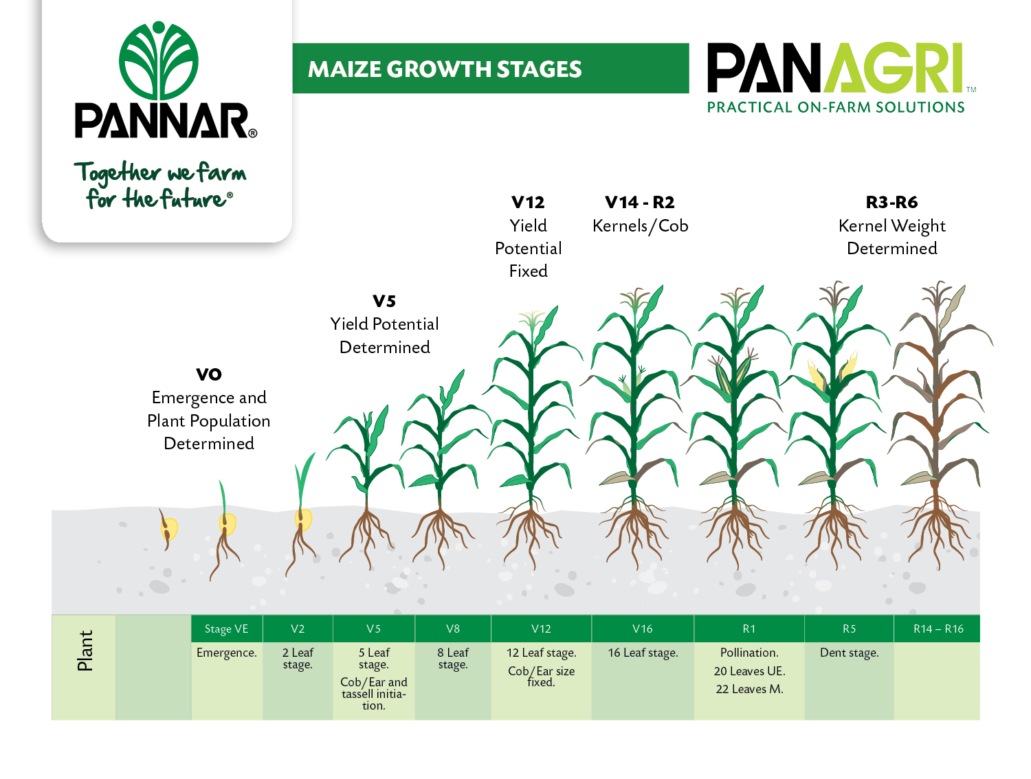 Pannar seed there are five growth stages that are critically important during the development of a maize plant ccuart Images