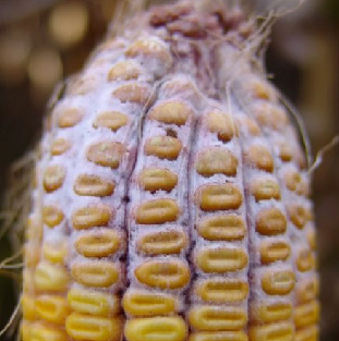 stem wilt disease in maize
